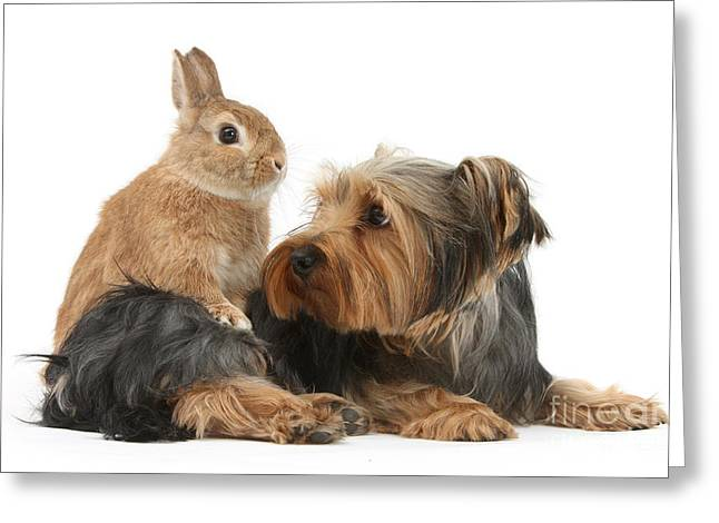 House Pet Greeting Cards - Yorkshire Terrier With Netherland-cross Greeting Card by Mark Taylor