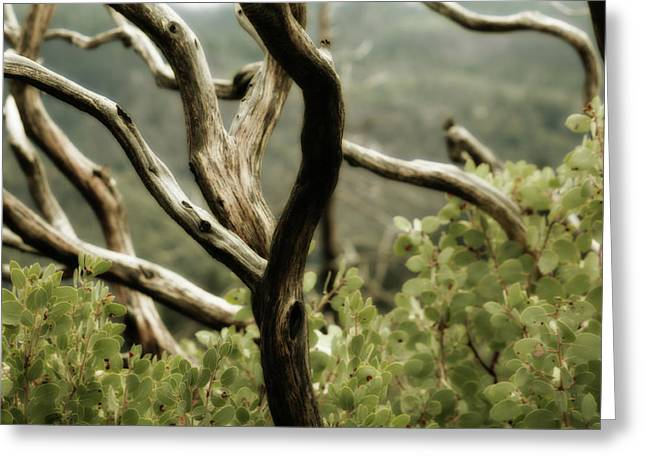 Manzanita Greeting Cards - Yosemite Manzanita Greeting Card by Bonnie Bruno