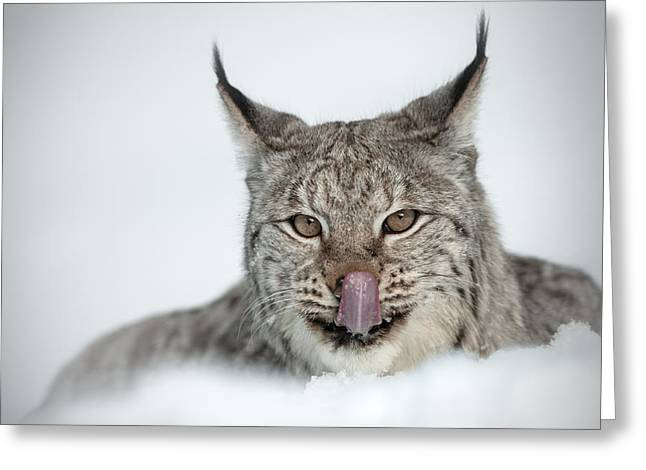 Wildcats Greeting Cards - You Look Tasty Mr Cameraman Greeting Card by Andy Astbury