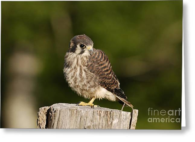 Baby Bird Greeting Cards - Young American Kestrel Greeting Card by Randy Bodkins