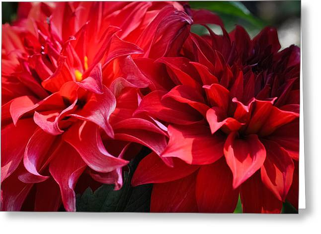 Dinner-plate Dahlia Greeting Cards - Young and Old Greeting Card by Ronda Broatch