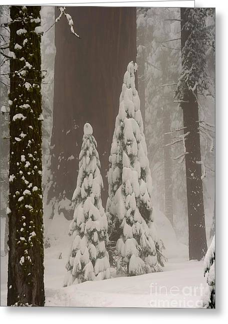 Giant Sequoia Greeting Cards - Young And Old Sequoias Greeting Card by Mary Beth Dimijian