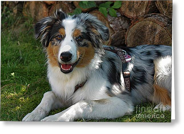 Postwork Greeting Cards - Young Australian Shepherd Greeting Card by Jutta Maria Pusl