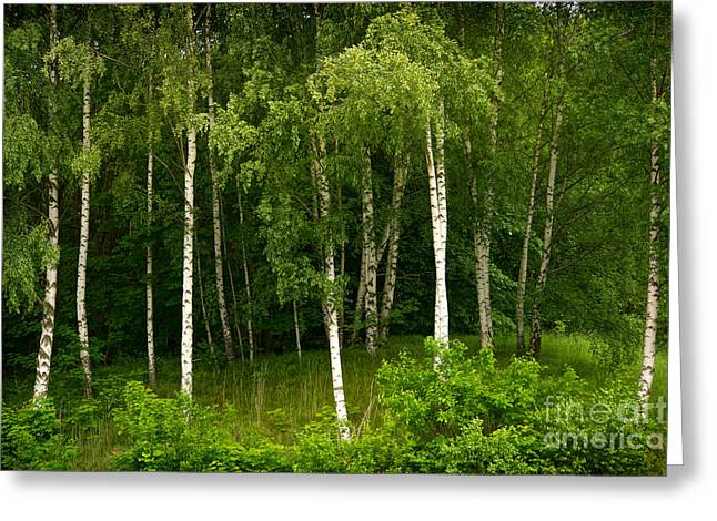 Young Birches Greeting Card by Lutz Baar