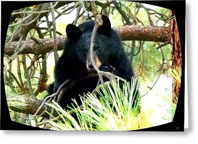 Pine Needles Greeting Cards - Young Black Bear Greeting Card by Will Borden