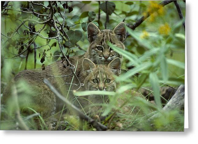Young Bobcats Greeting Card by Michael S. Quinton