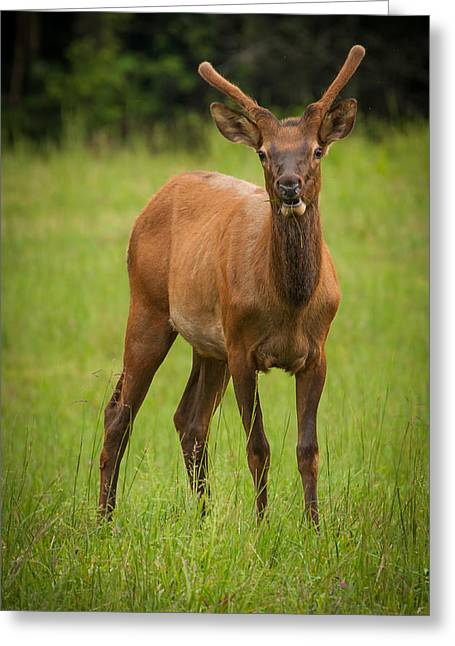 Portrait With Mountain Greeting Cards - Young Buck Greeting Card by Joye Ardyn Durham