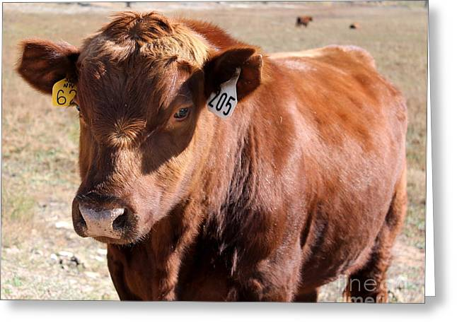Dug Out Greeting Cards - Young Bull Greeting Card by Pamela Walrath
