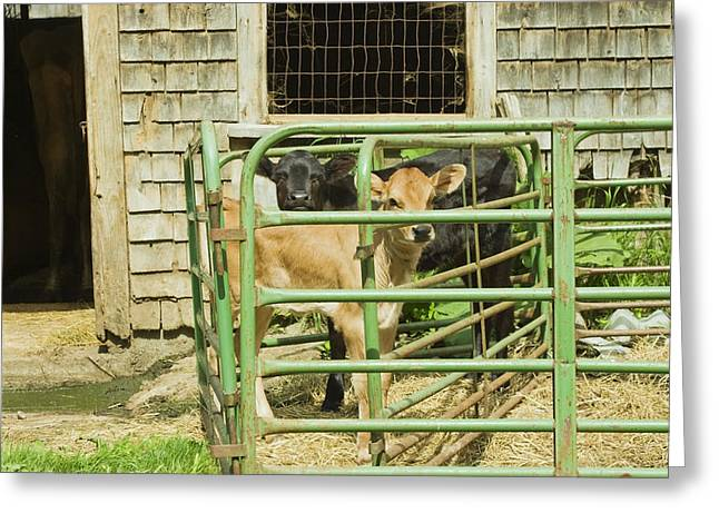 Domestic Cattle Greeting Cards - Young Calf In Fence Pen Near Barn Summer Maine Greeting Card by Keith Webber Jr