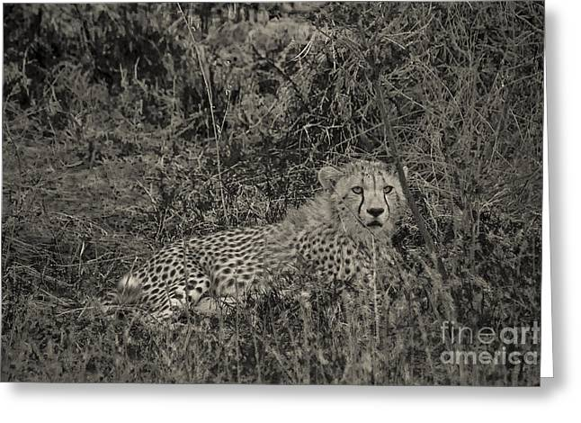 Serengeti Animal Greeting Cards - Young Cheetah Abstract Greeting Card by Darcy Michaelchuk
