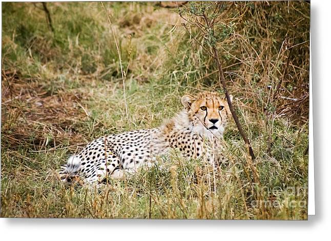 Serengeti Animal Greeting Cards - Young Cheetah Greeting Card by Darcy Michaelchuk