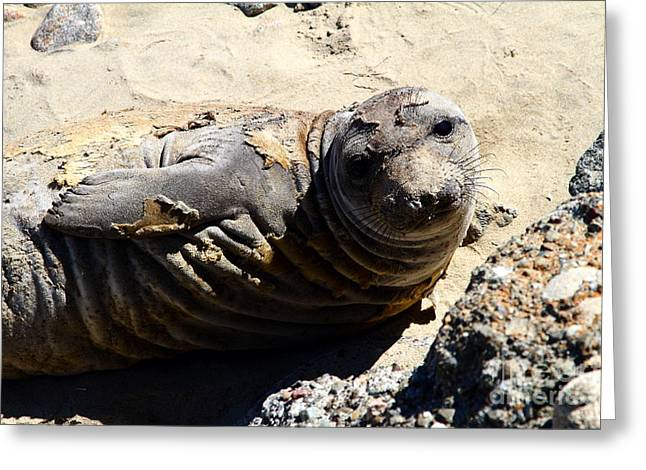 Sealions Greeting Cards - Young Elephant Seal Molting . 7D16091 Greeting Card by Wingsdomain Art and Photography