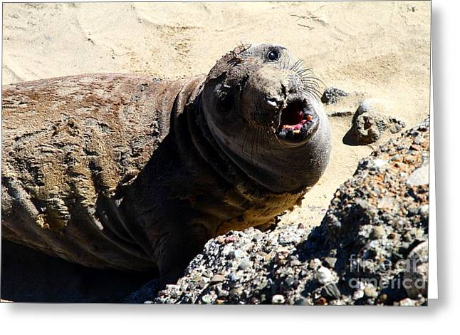 Sealions Greeting Cards - Young Elephant Seal Molting . 7D16100 Greeting Card by Wingsdomain Art and Photography