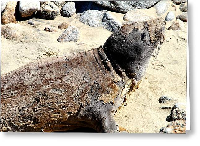 Sealions Greeting Cards - Young Elephant Seal Molting . 7D16118 Greeting Card by Wingsdomain Art and Photography
