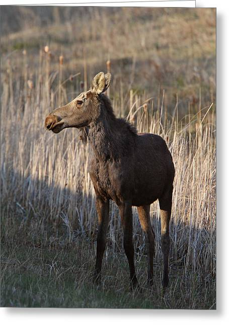 Wildlife Refuge. Digital Art Greeting Cards - Young female moose on Hecla Island in Manitoba Greeting Card by Mark Duffy