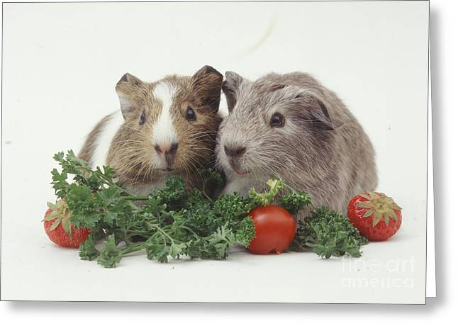 Cavy Greeting Cards - Young Guinea Pigs Enjoying Parsley Feast Greeting Card by Jane Burton
