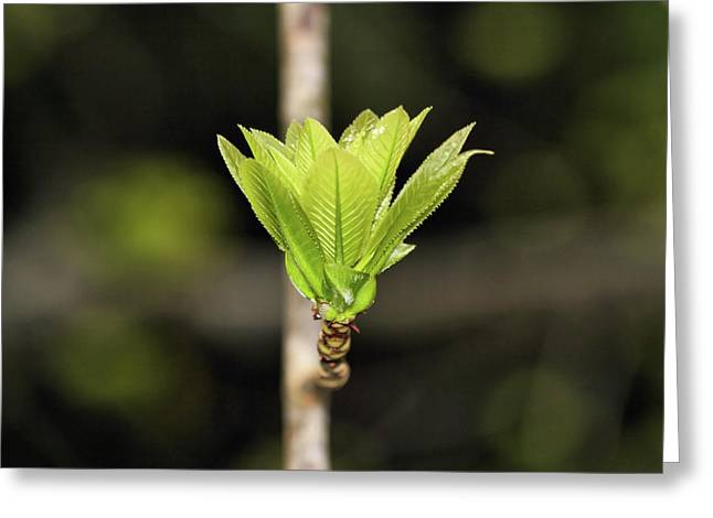 Biological Digital Greeting Cards - Young Leaves1 Greeting Card by KH Lee