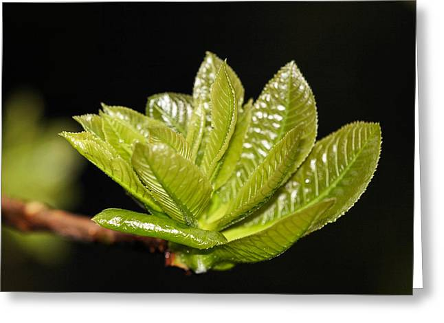 Biological Digital Greeting Cards - Young Leaves2 Greeting Card by KH Lee