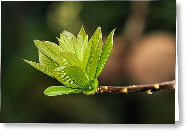 Biological Digital Greeting Cards - Young Leaves3 Greeting Card by KH Lee