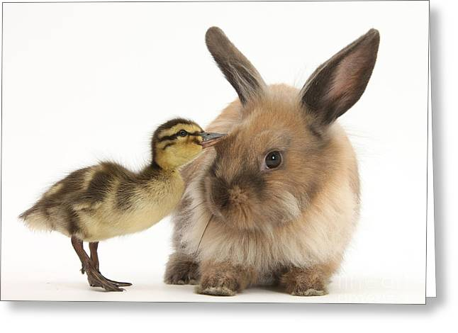 Mallard Ducklings Greeting Cards - Young Lionhead-lop Rabbit And Mallard Greeting Card by Mark Taylor