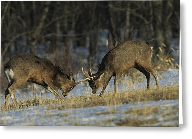 Aggression And Competition Greeting Cards - Young Male Sika Deer Practice Sparring Greeting Card by Tim Laman