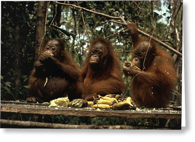 Rehabilitation Greeting Cards - Young Orangutans Eat Together Greeting Card by Rodney Brindamour