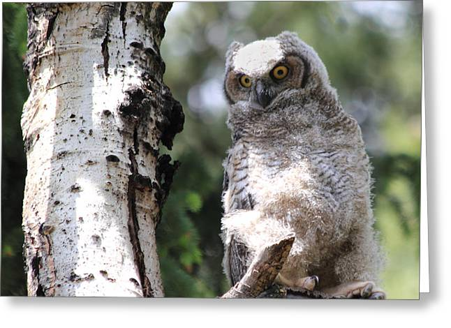 Owlets Greeting Cards - Young Owl Greeting Card by Shane Bechler