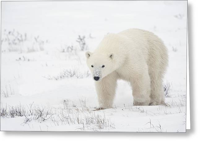 Young Polar Bear Ursus Maritimus Walks Greeting Card by Richard Wear