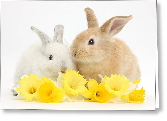 Domesticated Flower Greeting Cards - Young Rabbits With Daffodils Greeting Card by Mark Taylor
