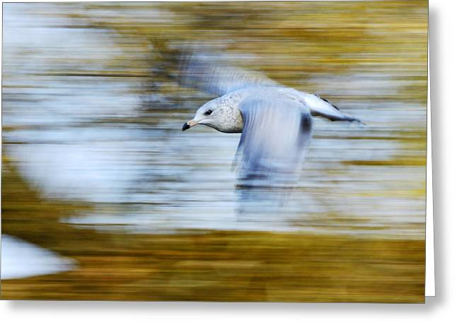 Ring-billed Gull Greeting Cards - young Ring-billed Gull Greeting Card by Tony Beck