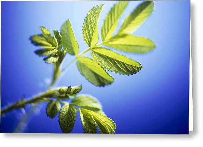 Rosa Sp. Greeting Cards - Young Rose Leaves Greeting Card by Adam Gault