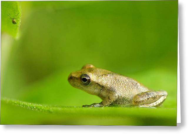 Leaf Peepers Greeting Cards - Young Spring Peeper Pseudacris Crucifer Greeting Card by Steeve Marcoux
