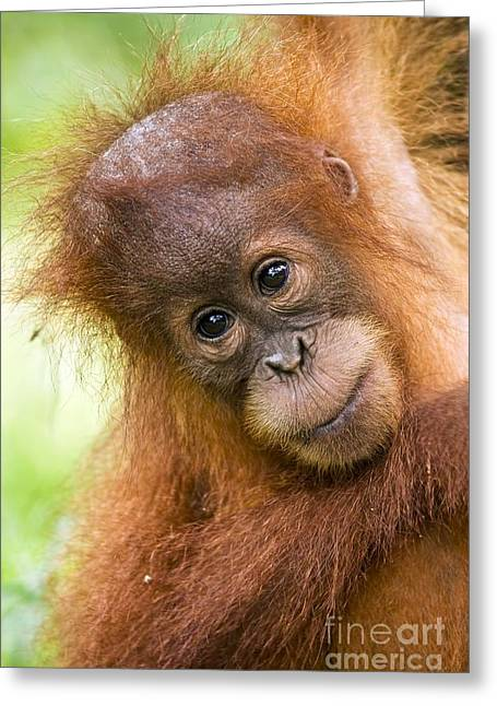 Sumatran Orang-utan Greeting Cards - Young Sumatran Orangutan Greeting Card by Tony Camacho and Photo Researchers
