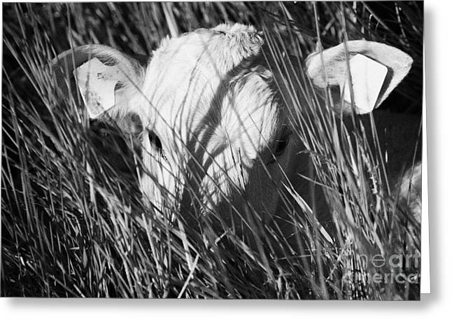 Ear Tags Greeting Cards - Young White Calf With Ear Tags Trying To Hide In Long Grass In Ireland Greeting Card by Joe Fox