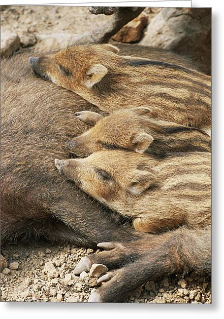 Su Greeting Cards - Young Wild Boar Greeting Card by Bjorn Svensson