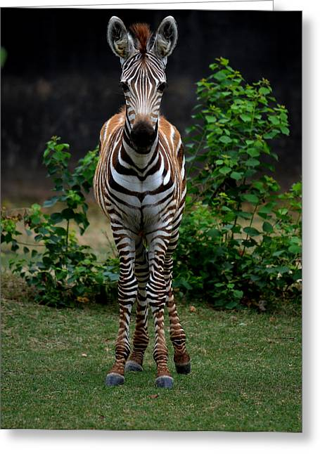 Zebra Colt Greeting Cards - Young Zebra Greeting Card by Maggy Marsh