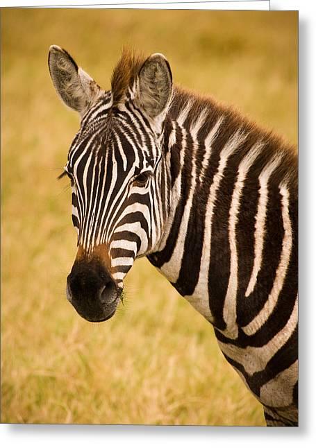 Wild Girl Greeting Cards - Zebra Greeting Card by Adam Romanowicz