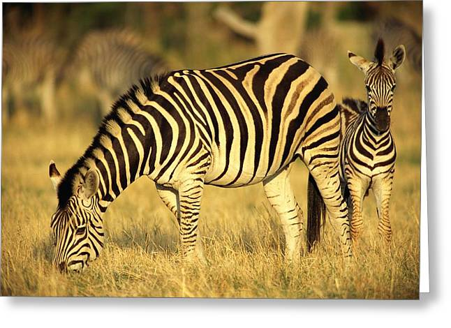 Zebra Eating Greeting Cards - Zebra Grazing With Young Greeting Card by Beverly Joubert