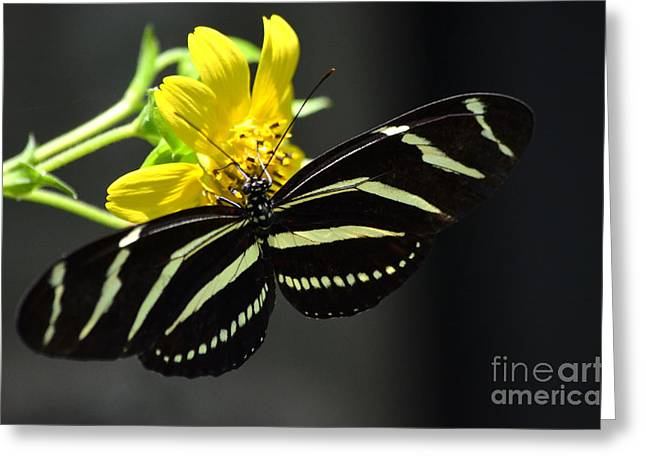 Zebra Greeting Cards Greeting Cards - Zebra Heliconian Butterfly Greeting Card by Kathy Gibbons