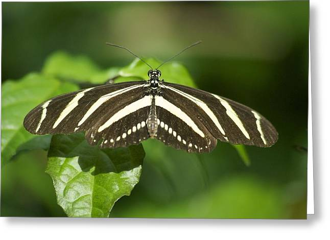 Zebra Pictures Greeting Cards - Zebra Longwing 2952 Greeting Card by Michael Peychich