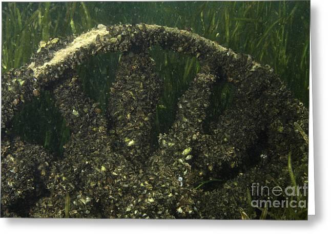 Invasive Species Greeting Cards - Zebra Mussels On Sunken Wheel Greeting Card by Ted Kinsman