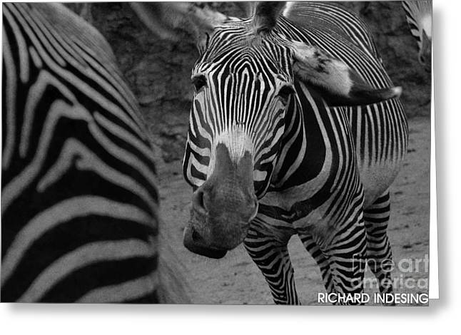 Raising Awareness Greeting Cards - Zebra sad Greeting Card by Richard  Caicedo