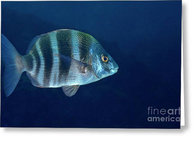 Striped Seabream Greeting Cards - Zebra Seabream swimming Greeting Card by Sami Sarkis