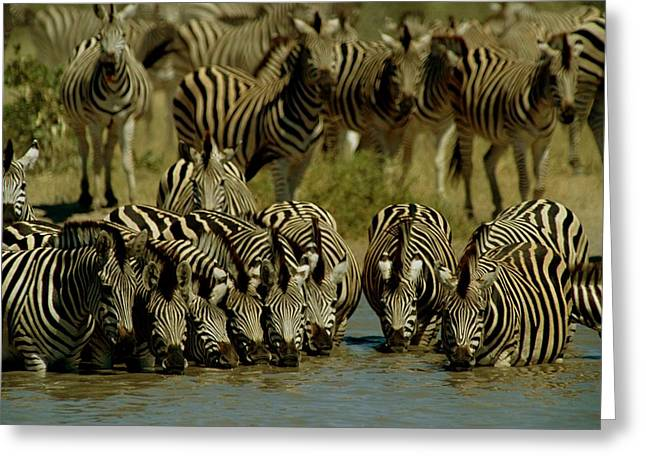 Zebra Eating Greeting Cards - Zebras Drinking At Water Hole Greeting Card by Beverly Joubert