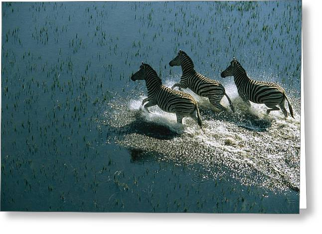 Light And Dark Greeting Cards - Zebras Prancing In Shallows Greeting Card by Bobby Haas