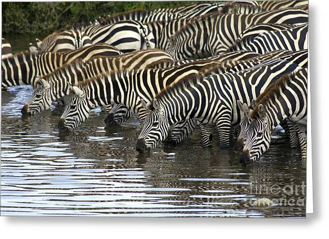 Scotts Scapes Greeting Cards - Zebras Greeting Card by Scotts Scapes