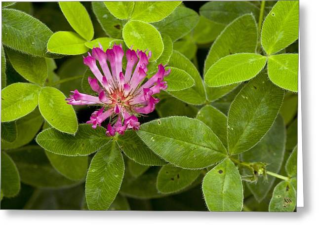 Medium Pink Greeting Cards - Zigzag Clover (trifolium Medium) Greeting Card by Bob Gibbons