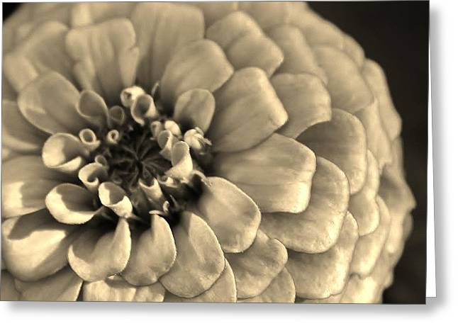 Zinna Greeting Cards - Zinna in Sepia Greeting Card by Bruce Bley