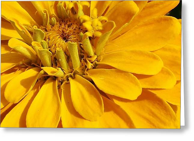 Amatuer Greeting Cards - Zinnia Close Up Greeting Card by Bruce Bley