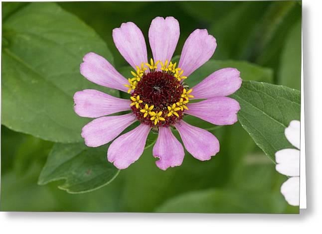 Zinnia Elegans Greeting Cards - Zinnia Elegans Flower Greeting Card by Bob Gibbons